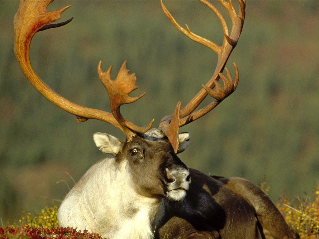 Alaska reindeer wallpaper - 1024x768 wallpaper download -10wallpaper ...
