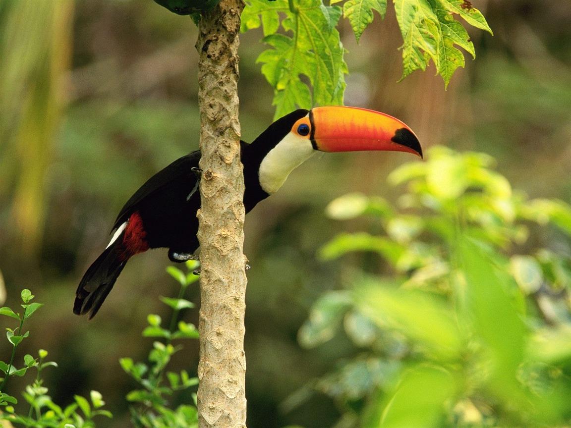 Top Toucan toco dans la forêt tropicale-Fond d'écran animaux  BU39