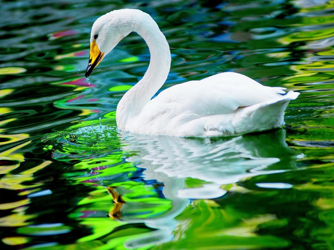 湖泊白天鹅 动物摄影高清壁纸预览 10wallpaper Com