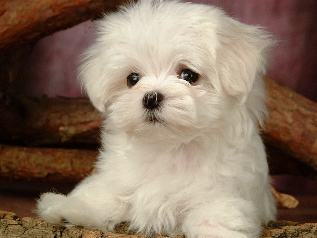 Lovely Puppy Wallpaper Fluffy Puppy wallpaper