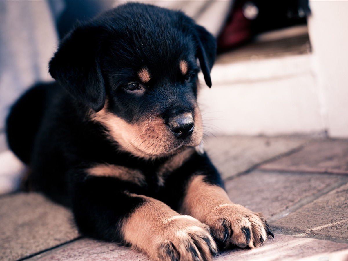 Animals Zoo Park Cute Dogs Wallpapers For Desktop Cute: Mignon Chiot Rottweiler-animal Chien Papier Peint De
