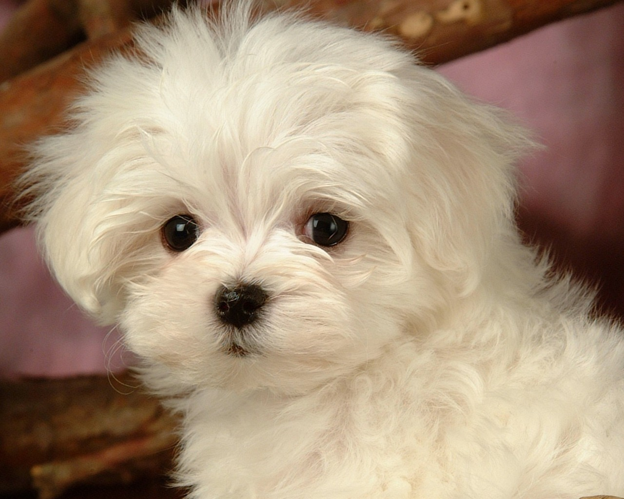 Lovely Little White Fluffy Puppy Wallpaper 18 Preview