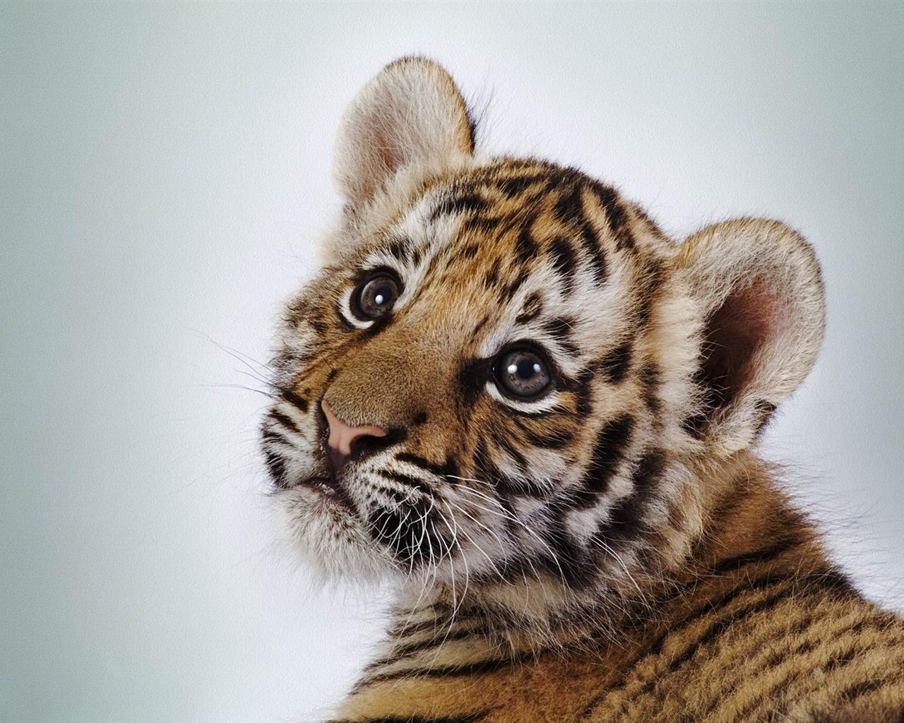 Mignon b b tigre animale photographie fond d 39 cran aper u - Bebe tigre mignon ...