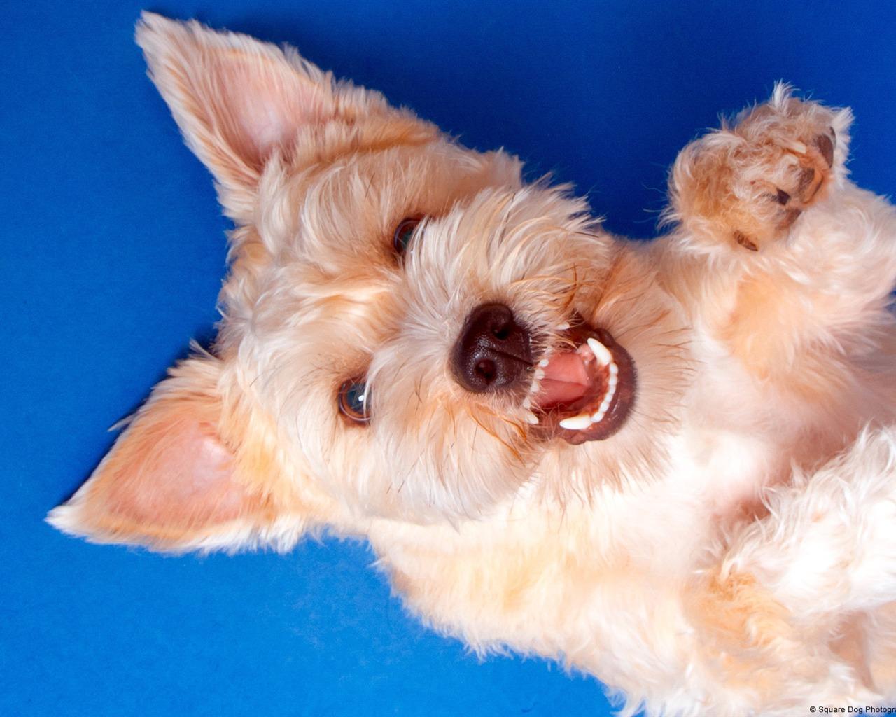 梗犬_描述: 微笑的梗犬-windows图片壁纸 当前壁纸尺寸: 1280 x 1024