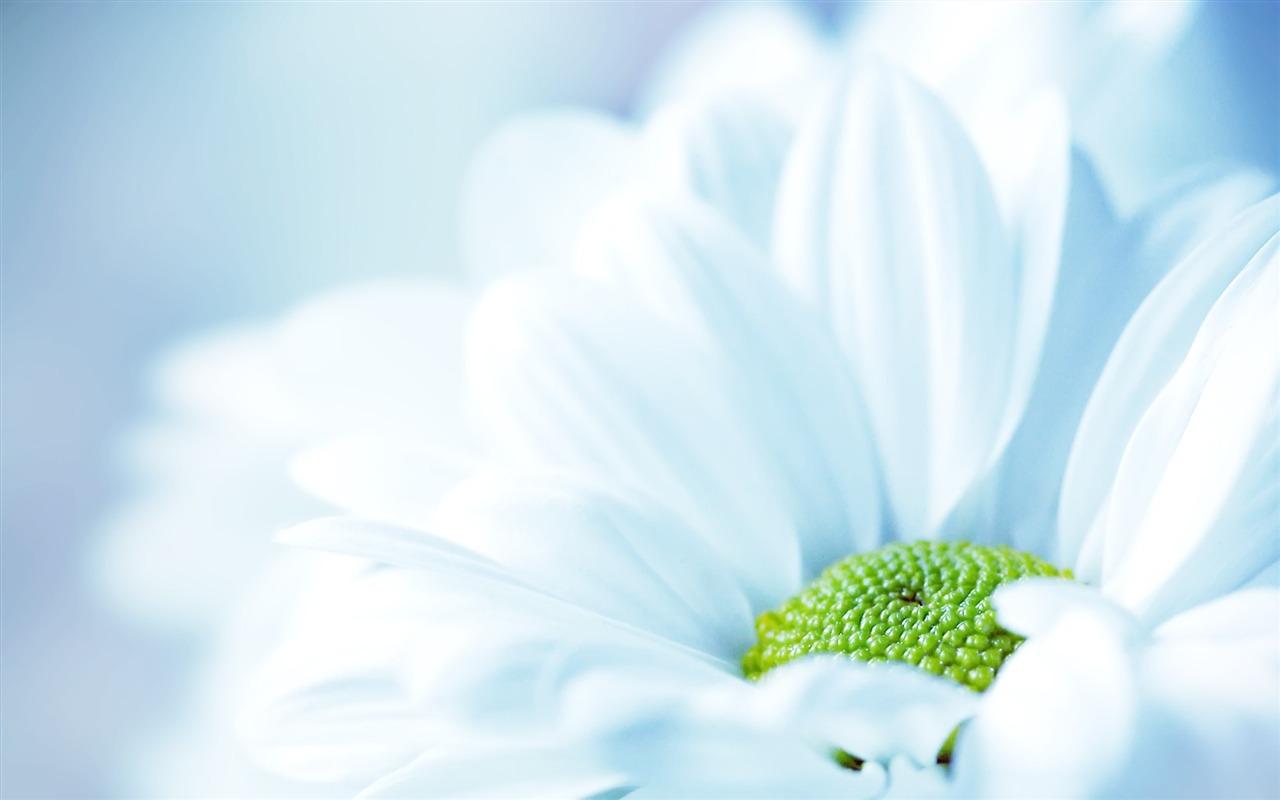 Bleu Pâle Marguerite Fond D'écran Aperçu