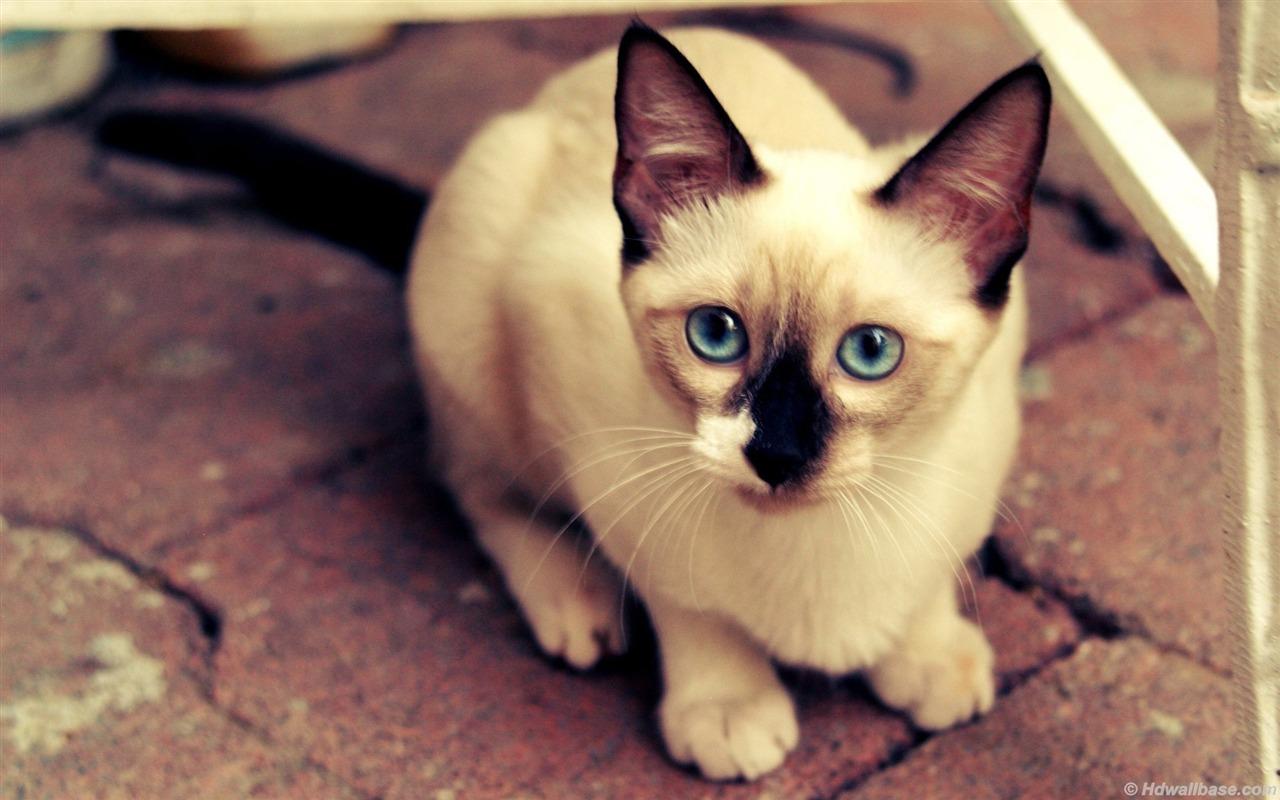 蓝眼睛的暹罗猫-动物壁纸图片