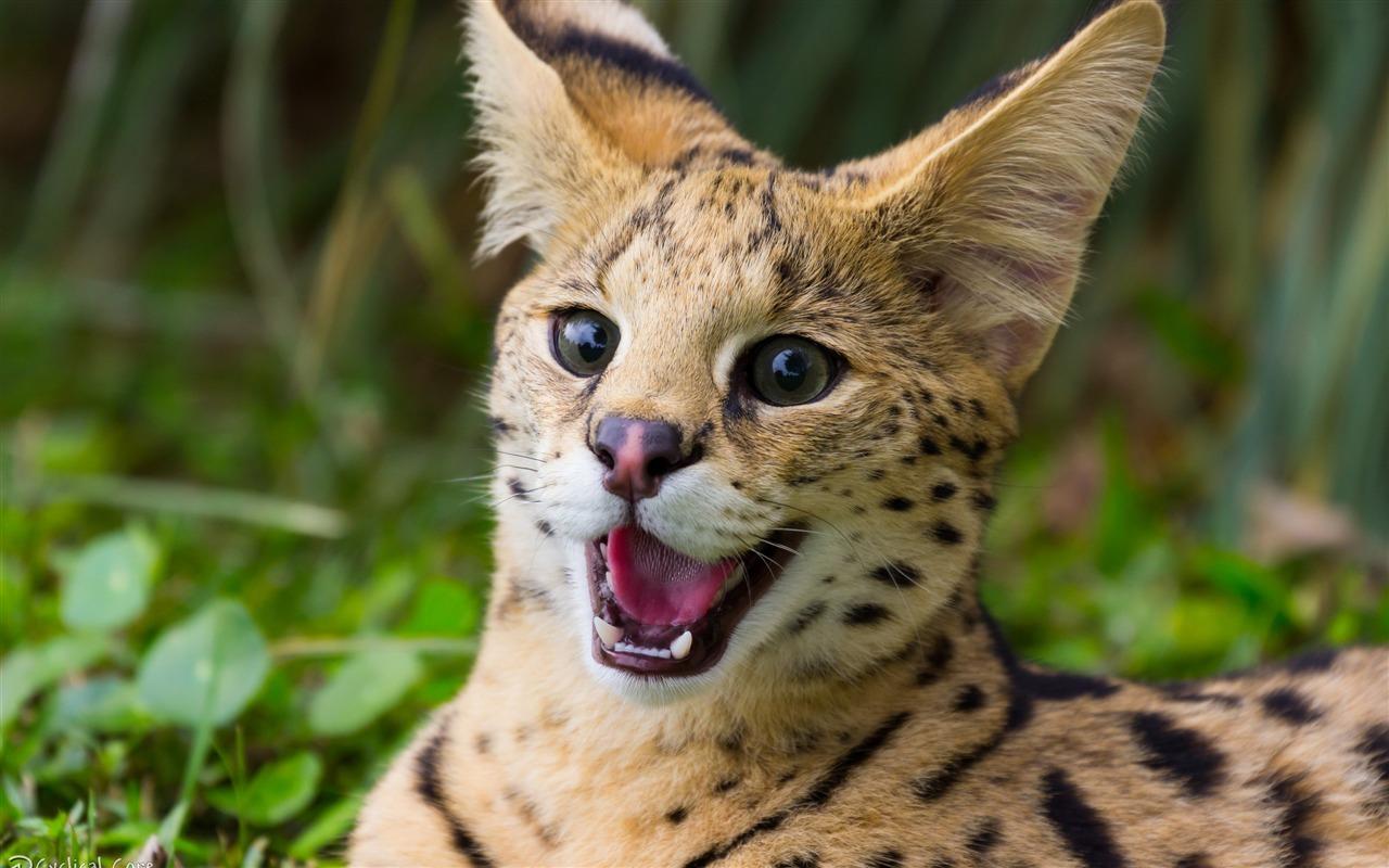 描述: 猫牙野生动物-动物照片高清壁纸 当前壁纸尺寸: 1280 x 800图片