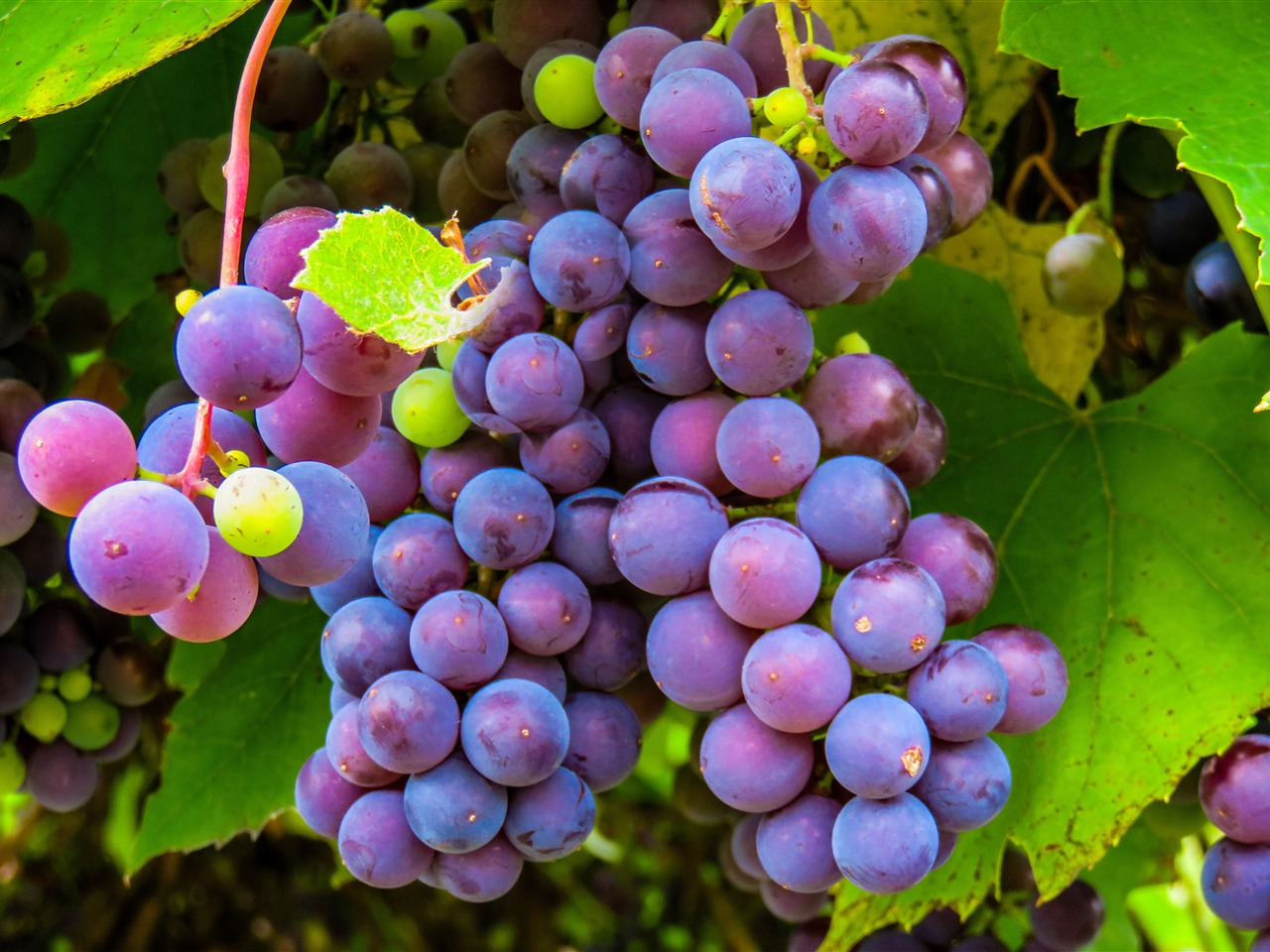 Fruit grape green plant closeup - 1280x960 wallpaper download