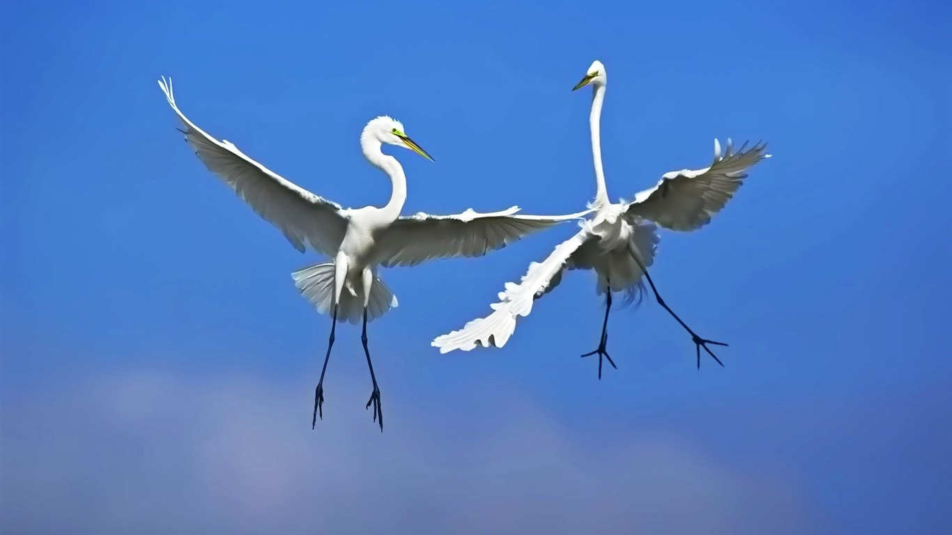 Frolic_in_the_air_Great_Egret_wallpaper