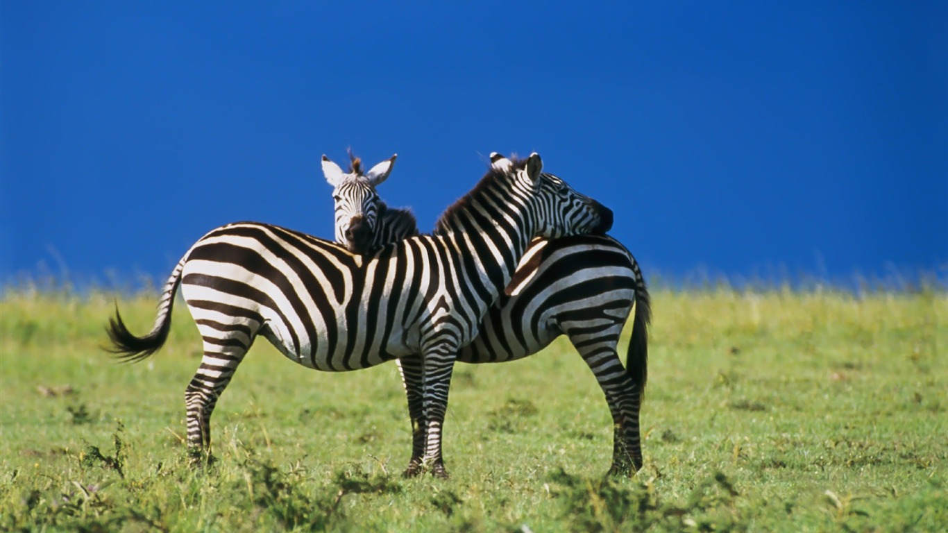 Intimate_dependency_of_zebra_wallpaper