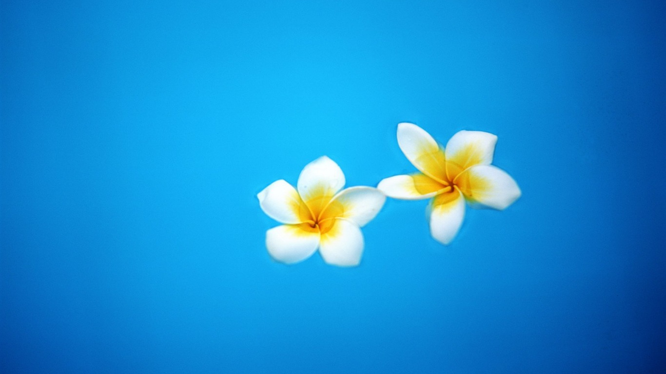 floating_on_the_surface_of_the_egg_flower_wallpaper