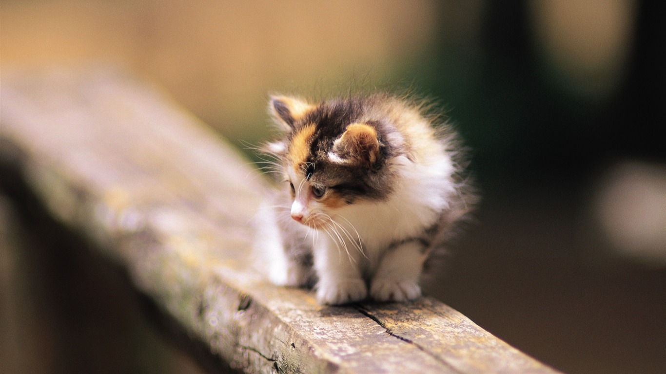 Fluffy_baby_kitten_on_wooden_fence