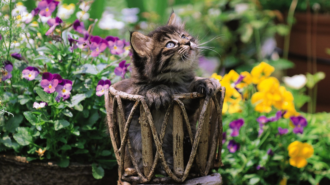 Fluffy_kitten_in_basket_Lovely_Kittens_Wallpaper1