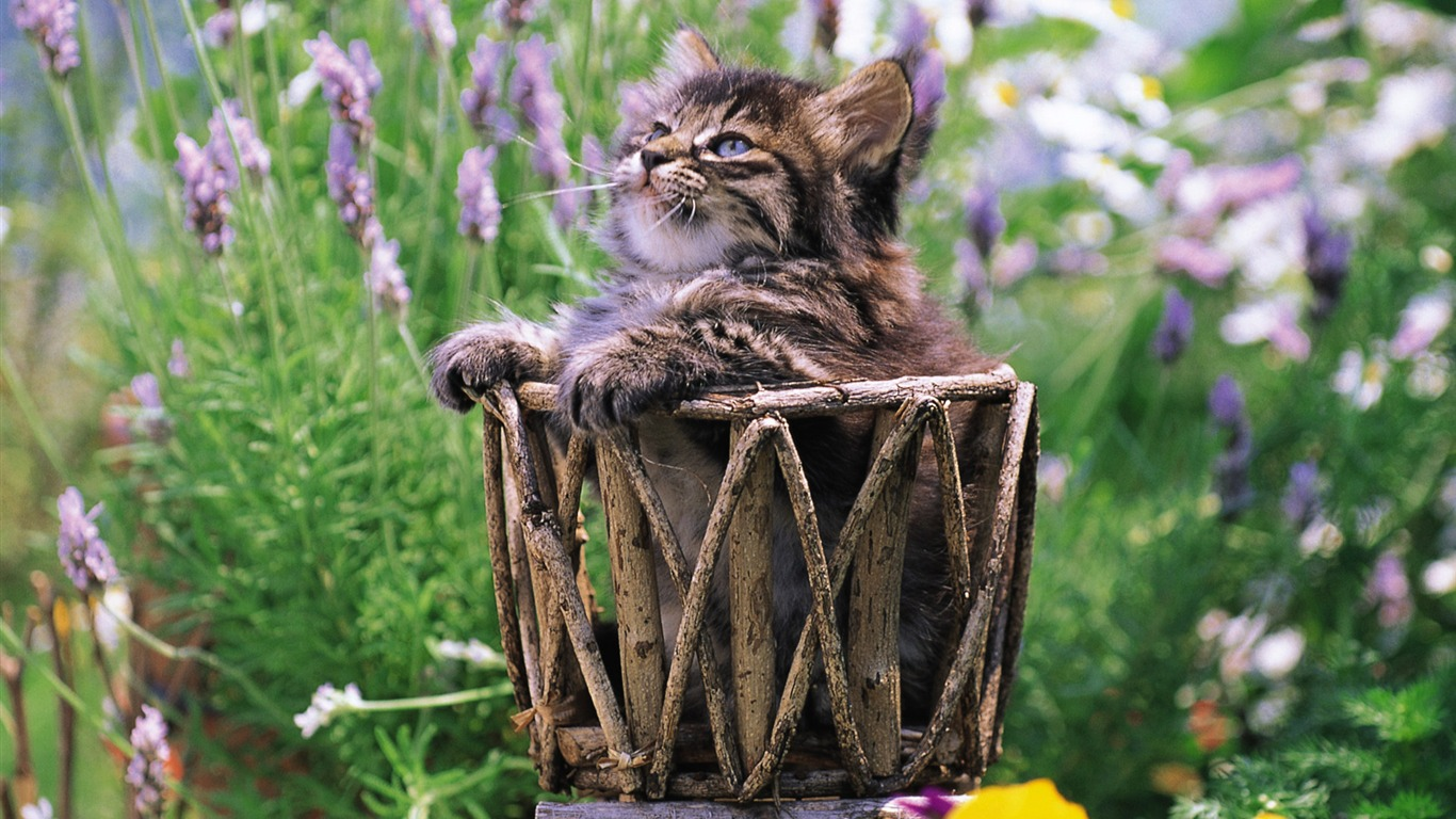Fluffy_kitten_in_basket_Lovely_Kittens_Wallpaper
