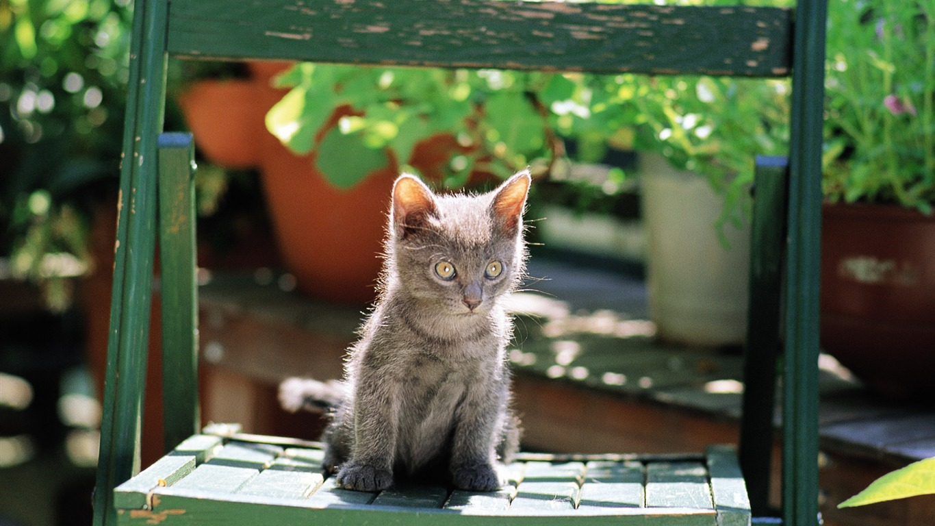 Grey_Kitten_on_a_chair_Lovely_Kittens_Wallpaper