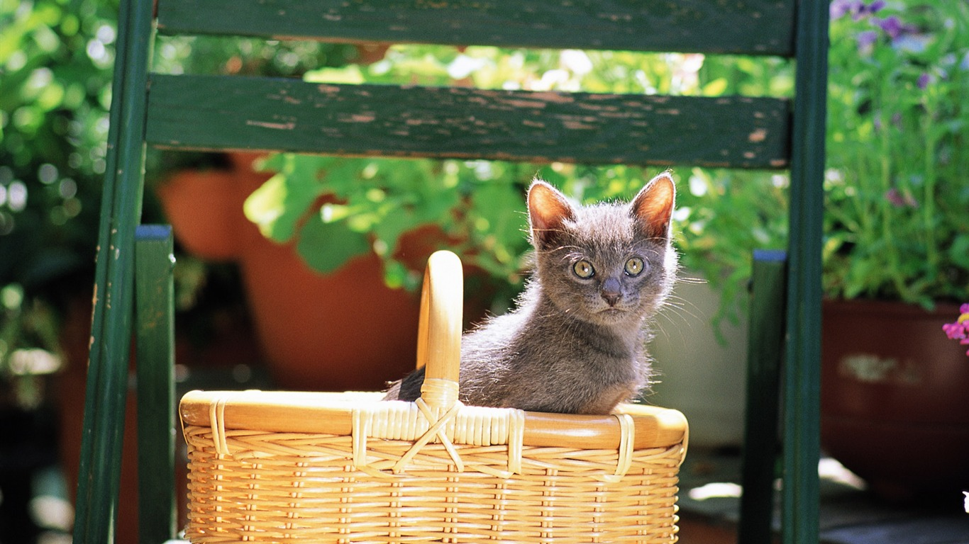 Grey_kitten_in_basket_Lovely_Kittens_Wallpaper