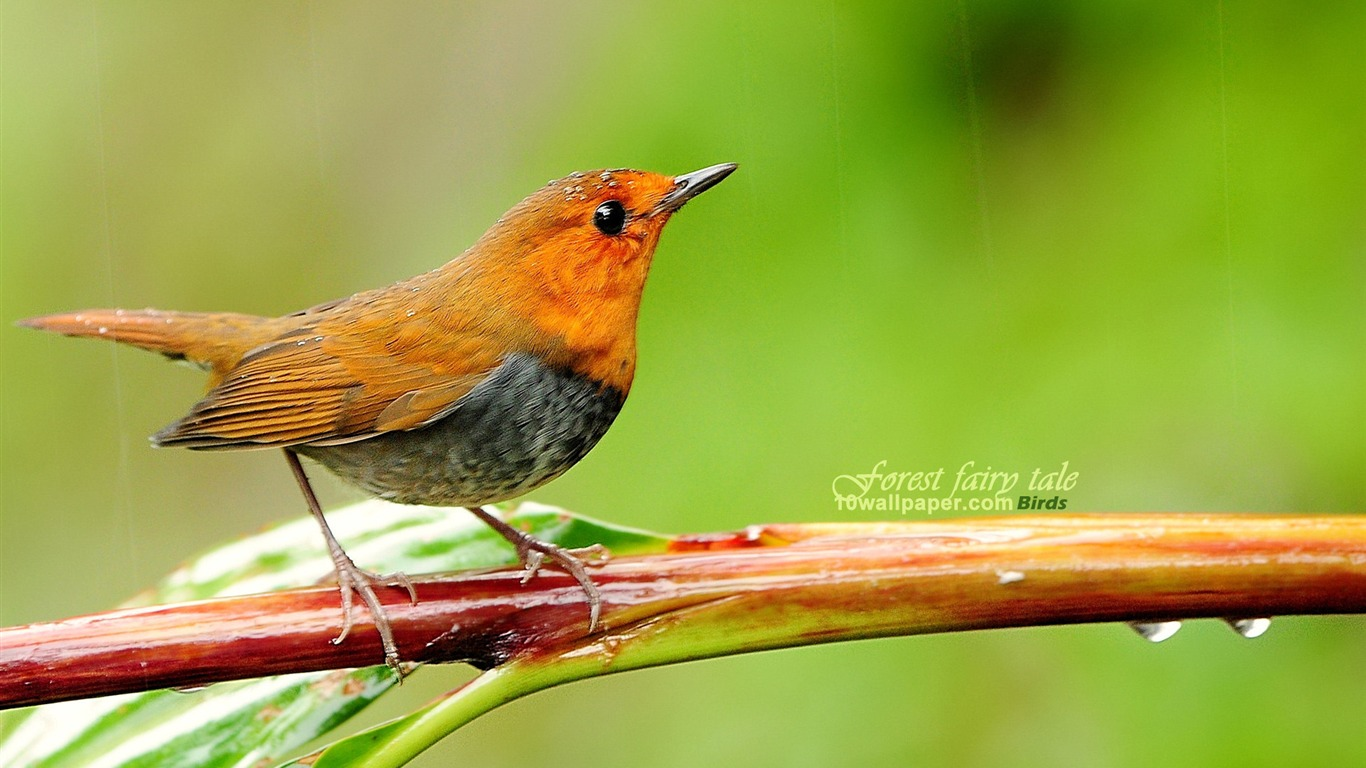 Japanese_songs_Robin-the_branches_birds_wallpaper