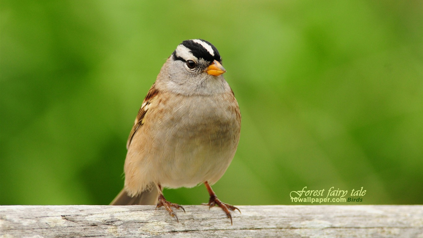 White-crowned_Sparrow-Birds_wallpaper_cute_spring