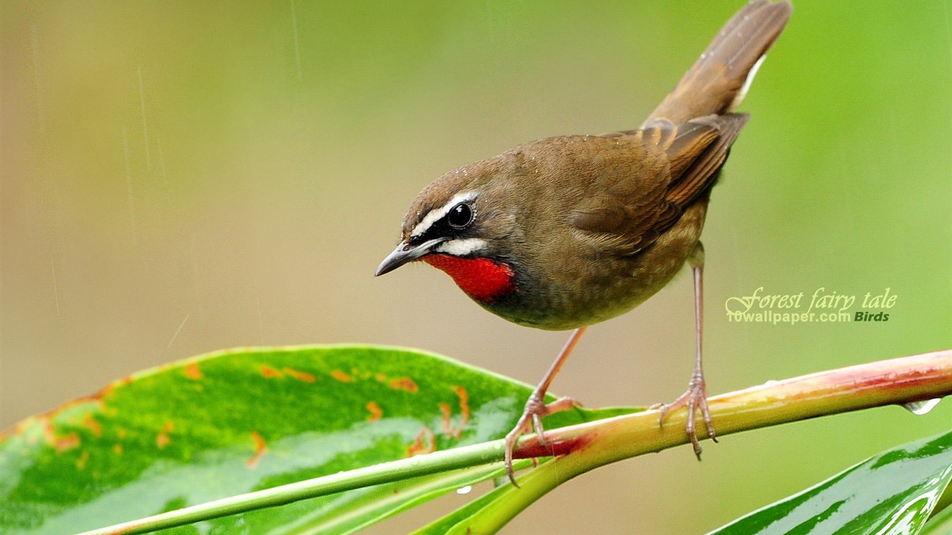 forest_birds-Red-throated_Robin_Siberian_Rubythroat_wallpaper_wild_A
