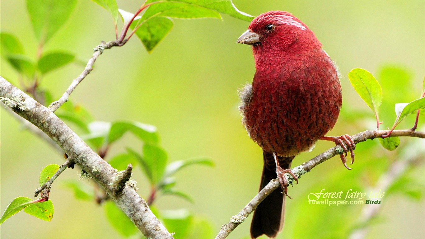 lovely_red_bird-burgundy_wallpaper_Suzaku