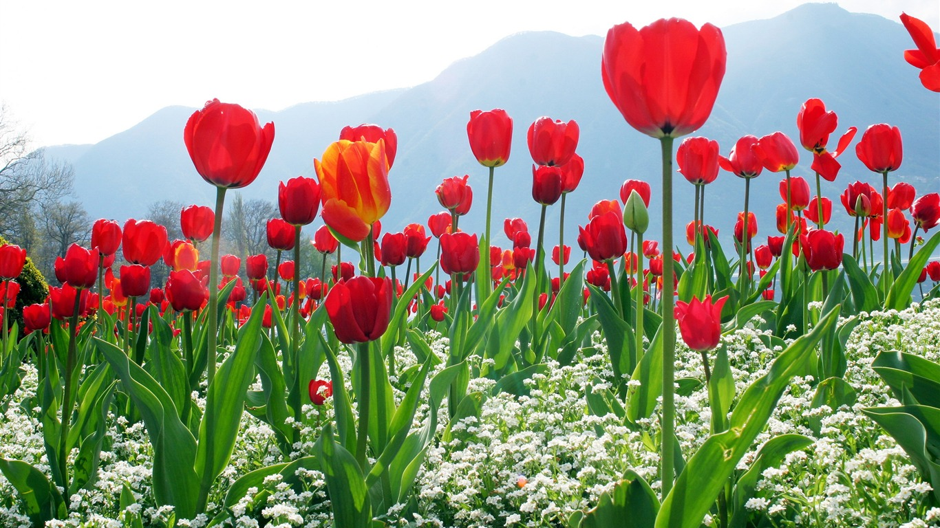 The_tulips_everywhere-September_flowers_wallpaper
