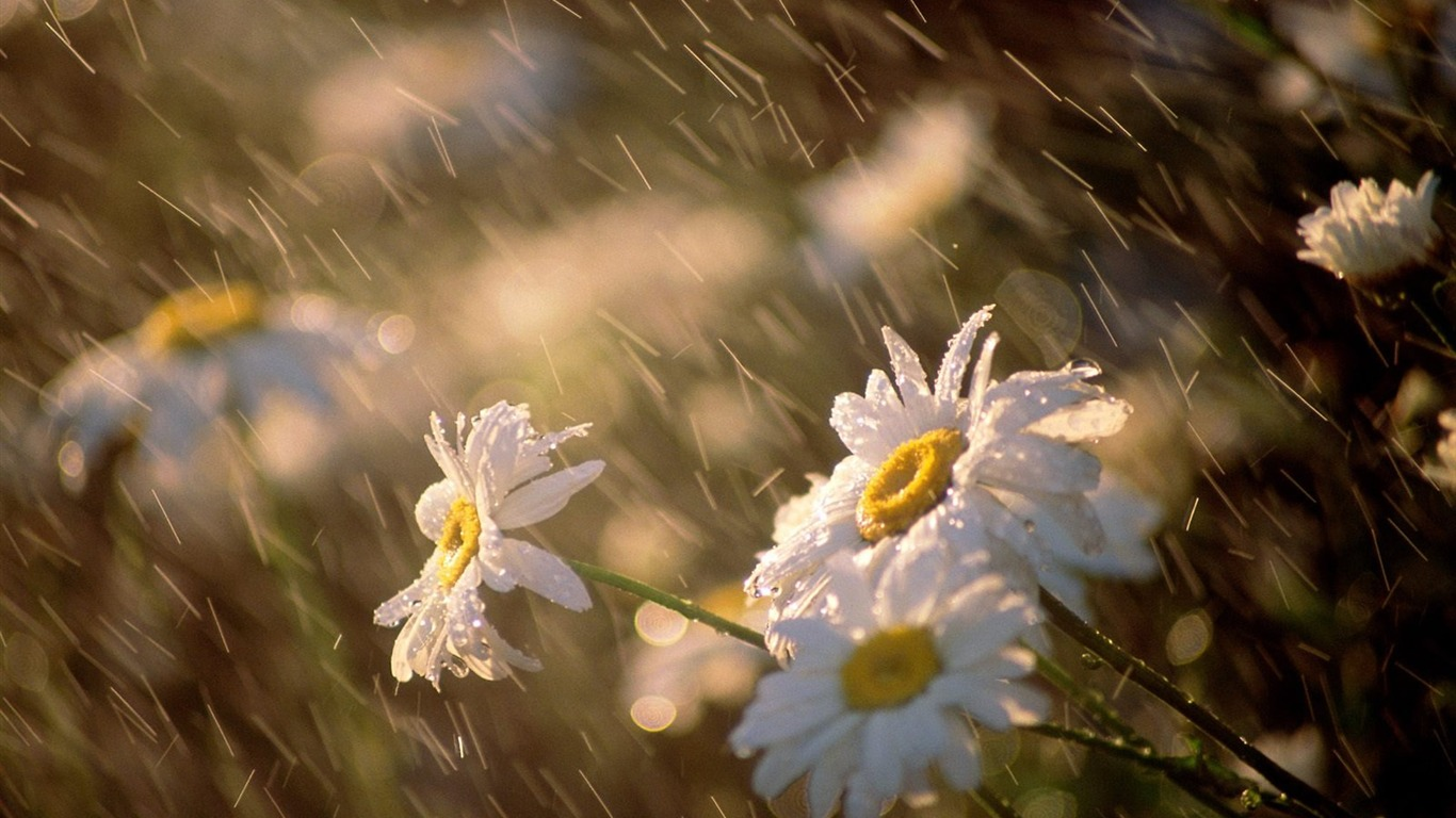 daisies_under_rain-September_flowers_wallpaper