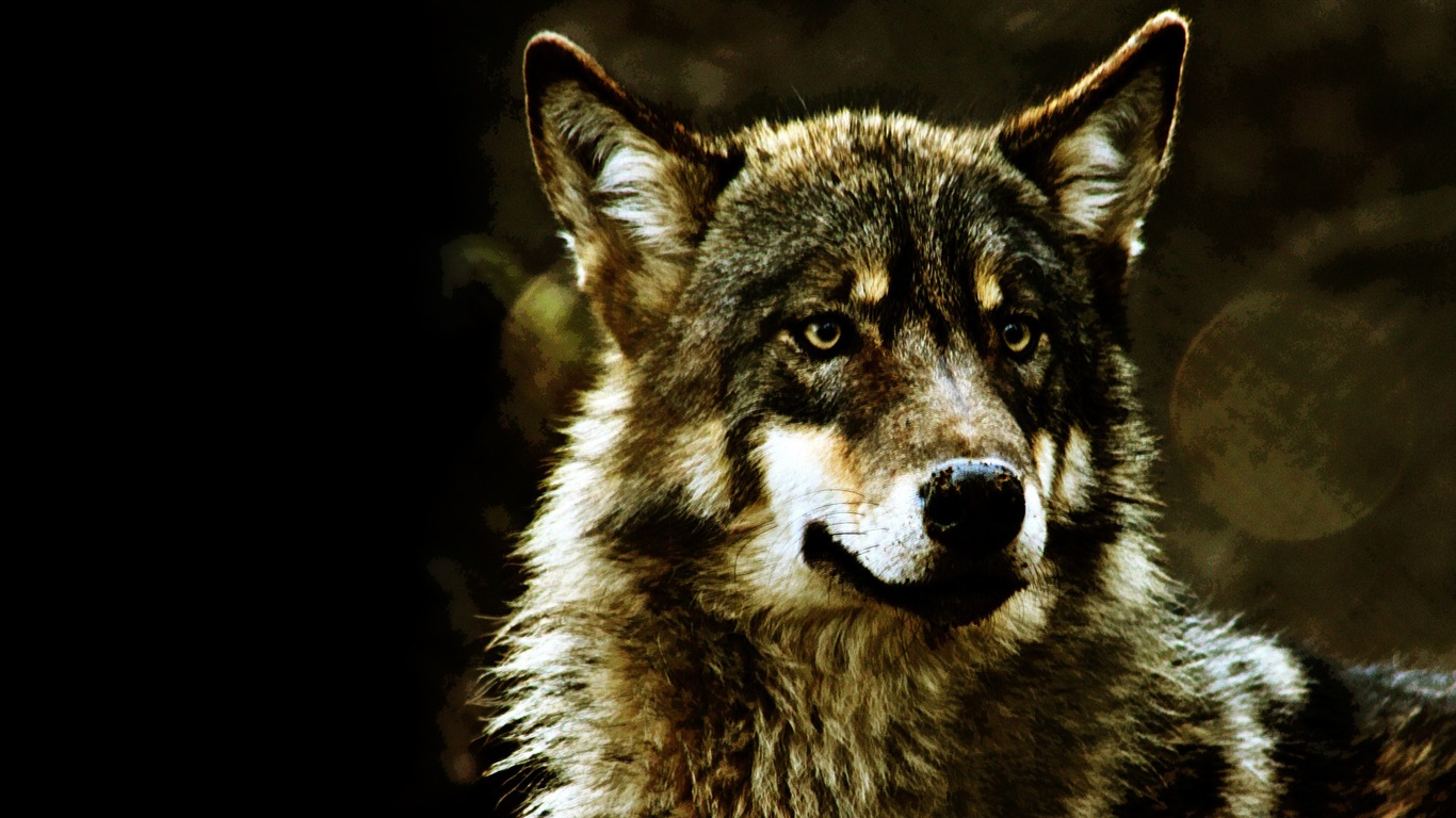 wolf wildlife wallpaper 1366x768 wallpaper download