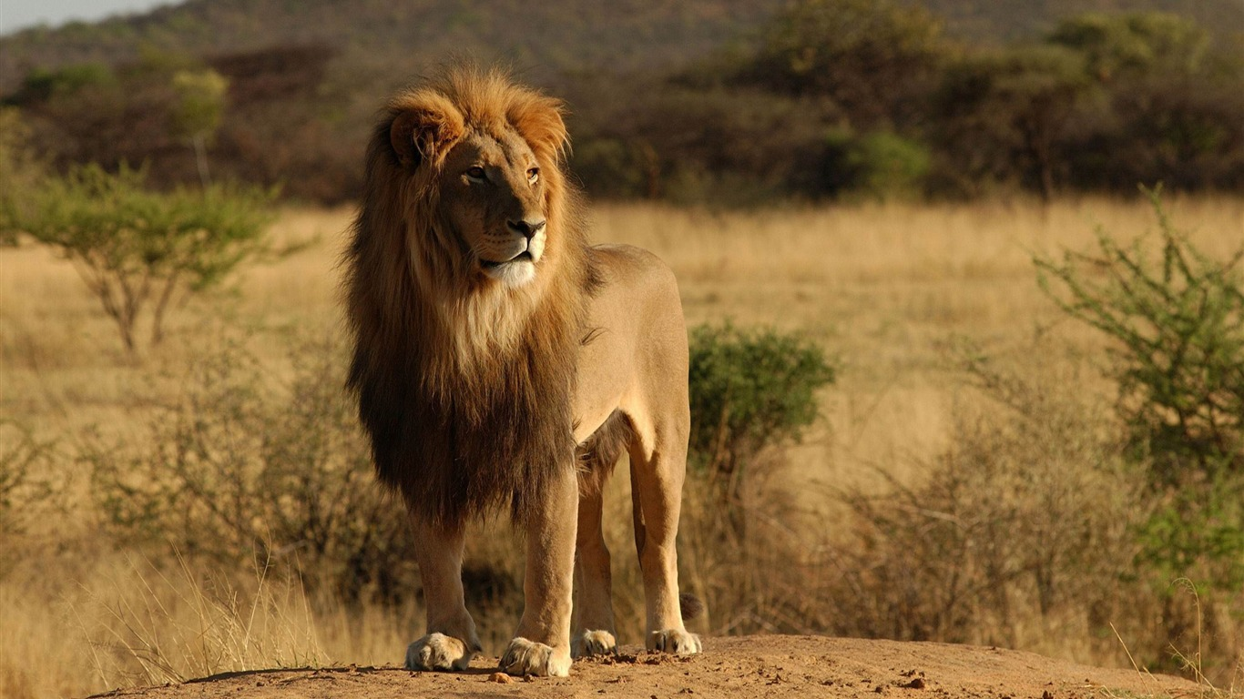 male_lion-Wild_Animal_HD_Wallpapers