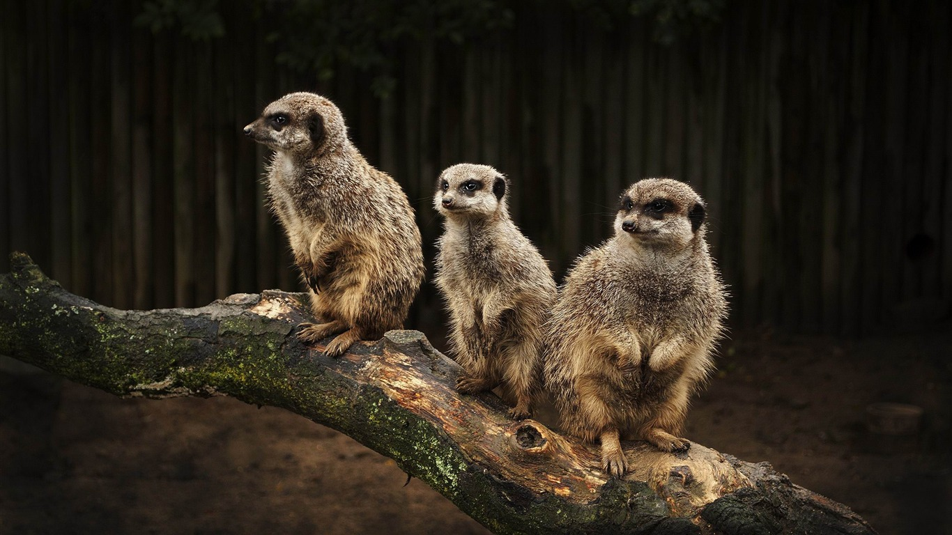meerkat_family-Wild_Animal_HD_Wallpapers