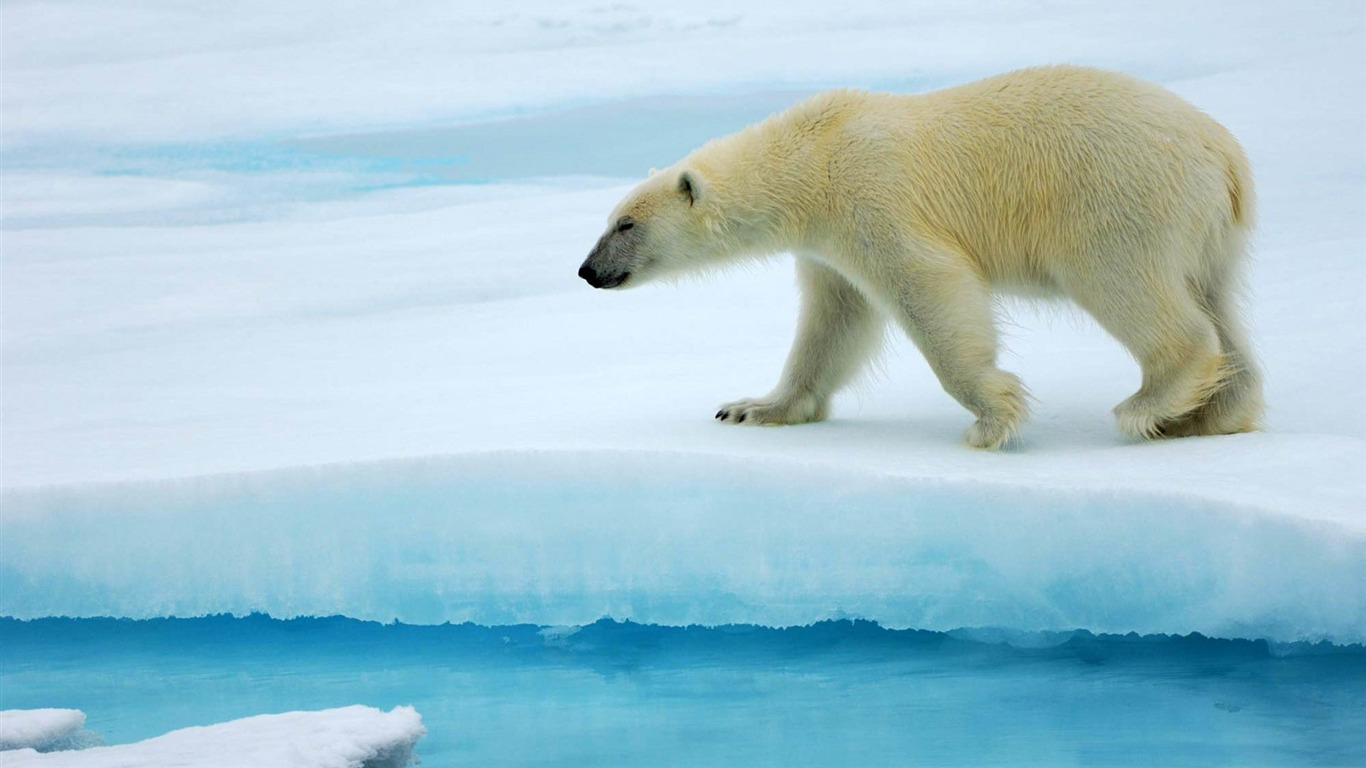 polar_bear-Wild_Animal_HD_Wallpapers