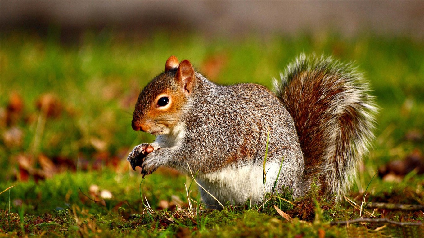 squirrel-Wild_Animal_HD_Wallpapers