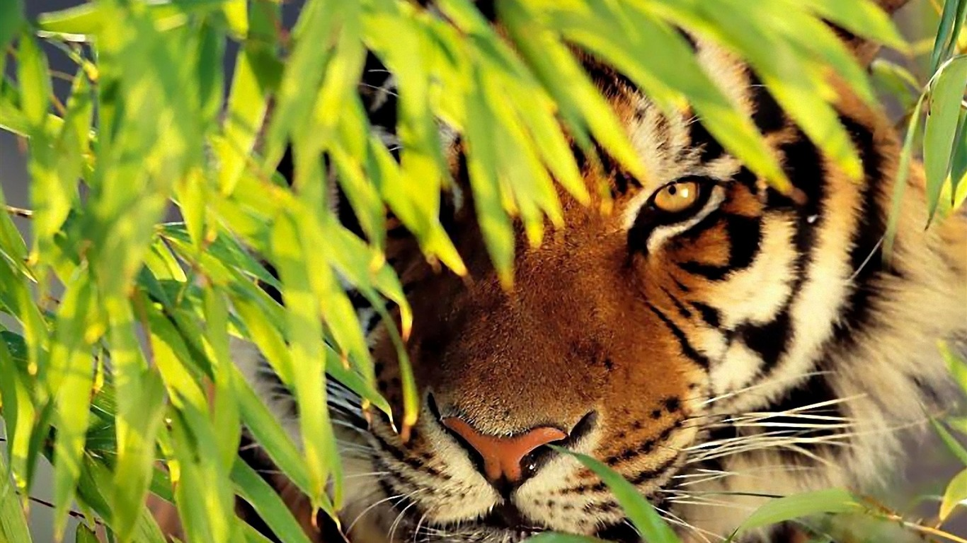 Tiger_See-animal_desktop_wallpaper