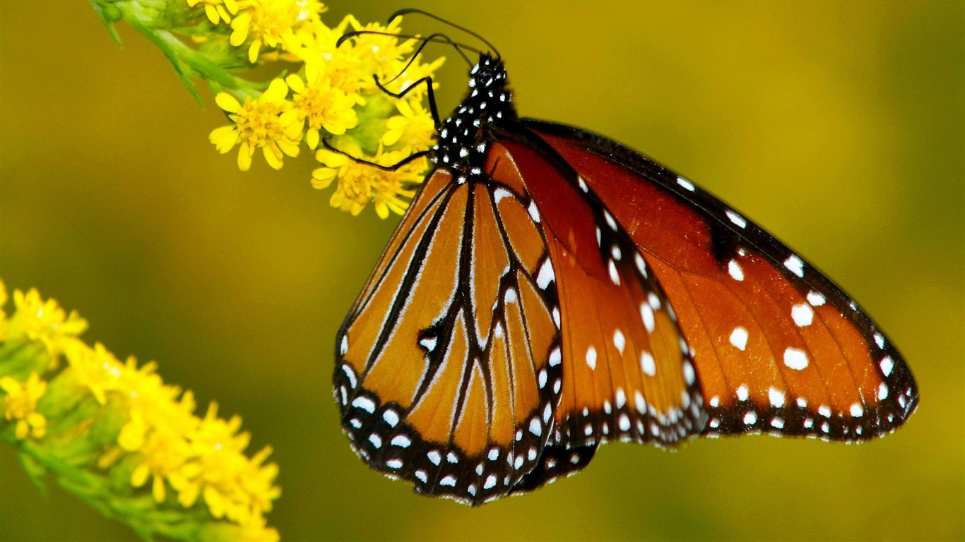 monarch_butterfly_yellow-animal_desktop_wallpaper