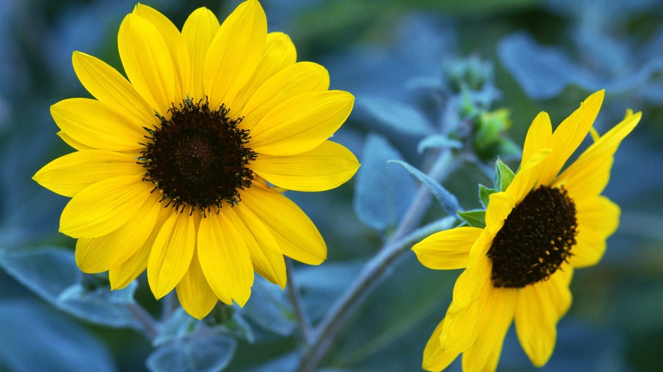 Autumn_sunflowers-Flower_Desktop_wallpaper