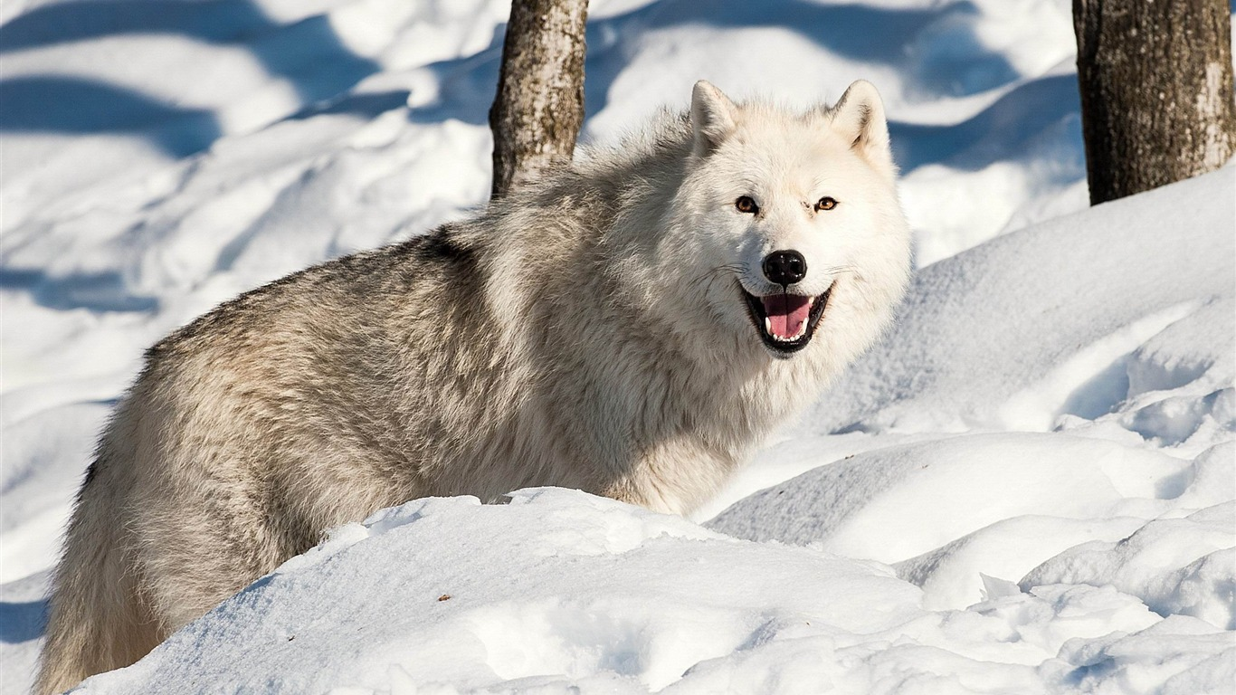 dog_wolf_snow_winter-Animal_HD_Wallpaper