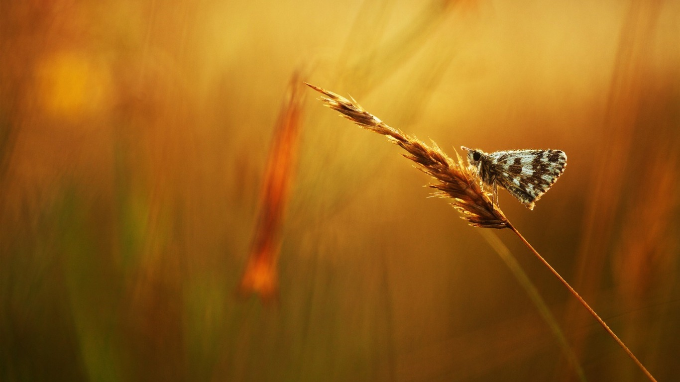 butterfly_grass_dew_drops-Animal_Photo_Wallpaper