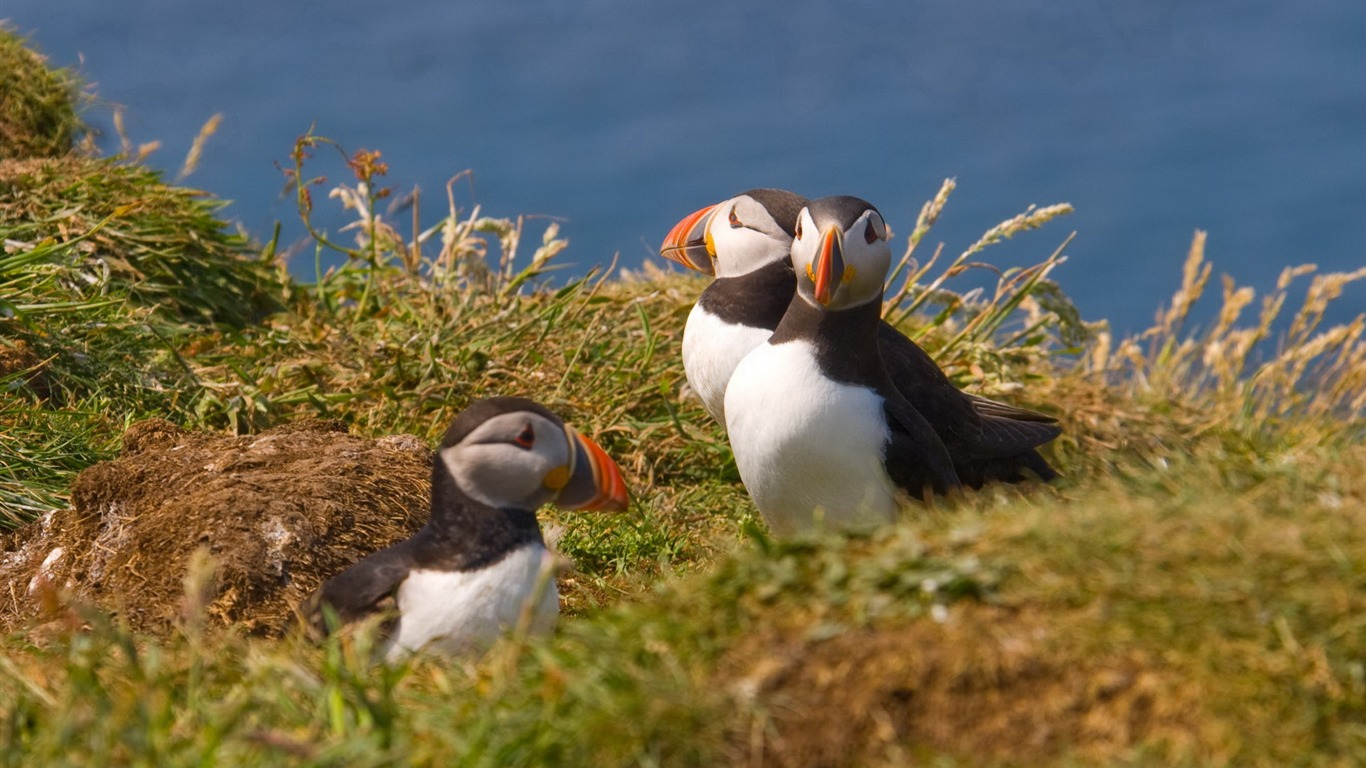Cute_Elf_puffin_bird_photography_wallpaper_01
