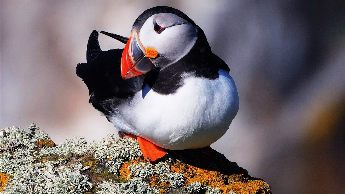 Cute_Elf_puffin_bird_photography_wallpaper_06
