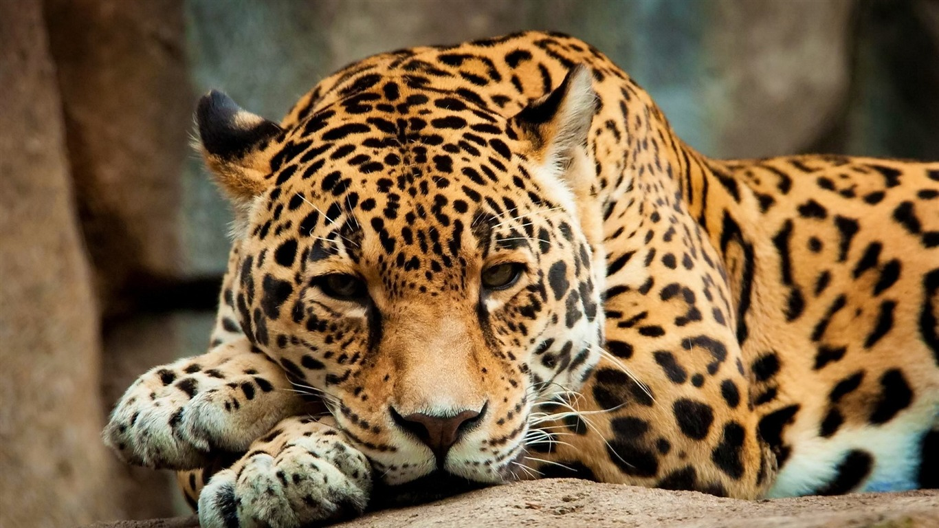 calm_jaguar-Animal_HD_Wallpaper