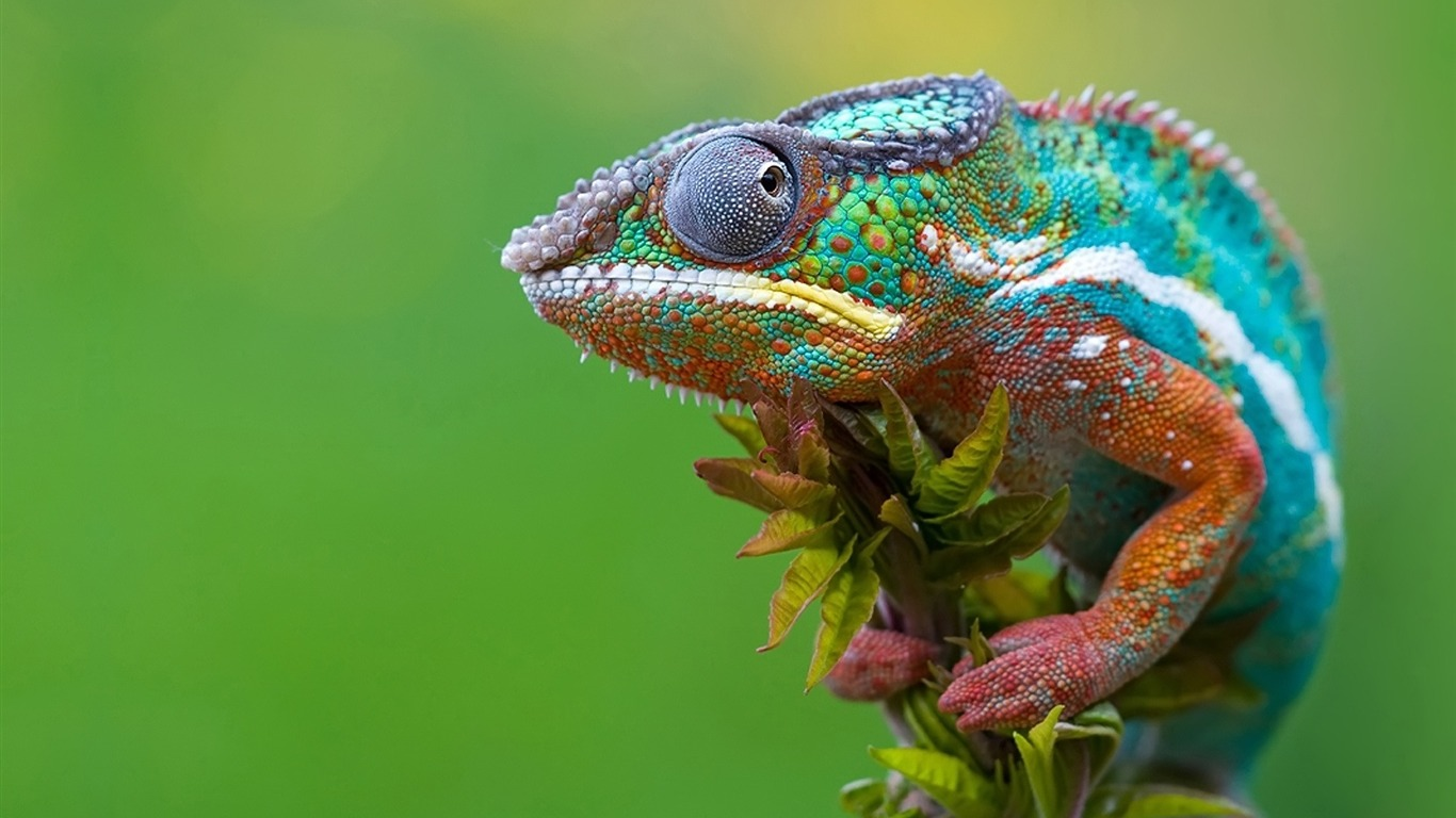 chameleon_camouflage-Animal_HD_Wallpaper