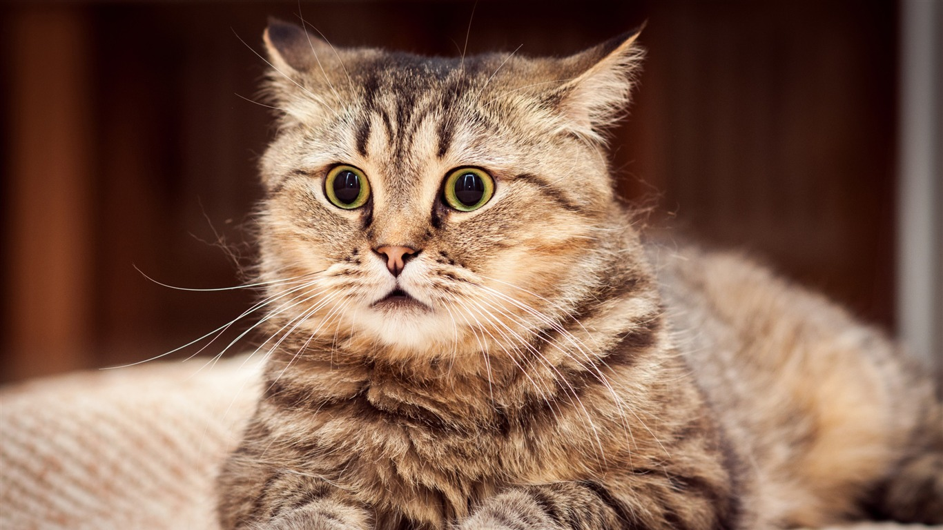 cat_surprised_look_striped-Animal_HD_Wallpaper
