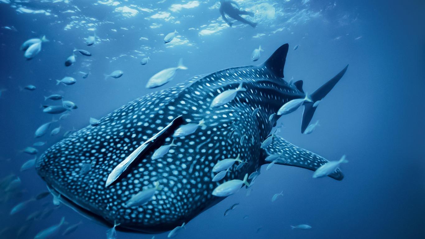 大洋鲸鱼蓝色 摄影高清壁纸预览