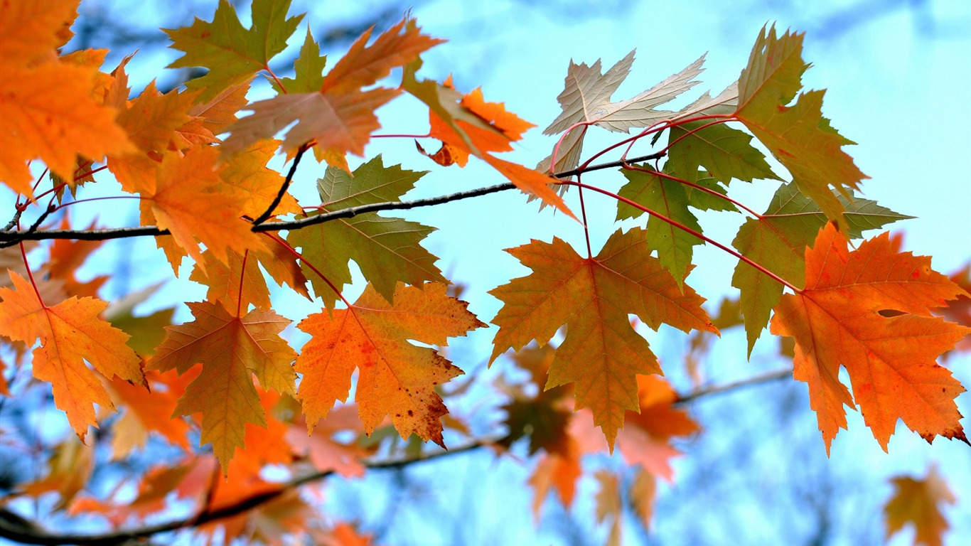 Maple_Leaves_Branches-High_Quality_HD_Wallpaper