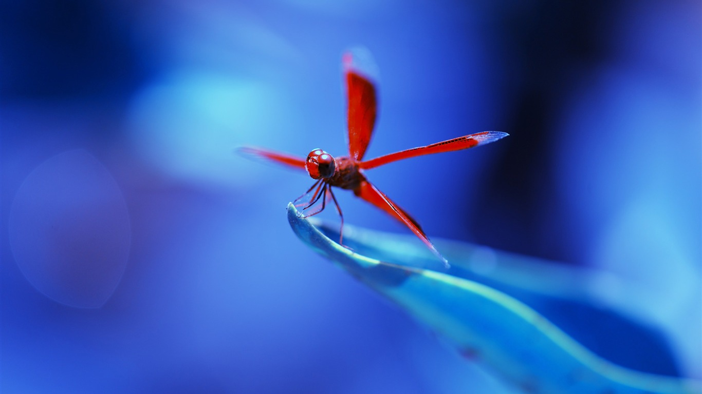 Red_dragonfly_insects-Animal_High_Quality_Wallpaper