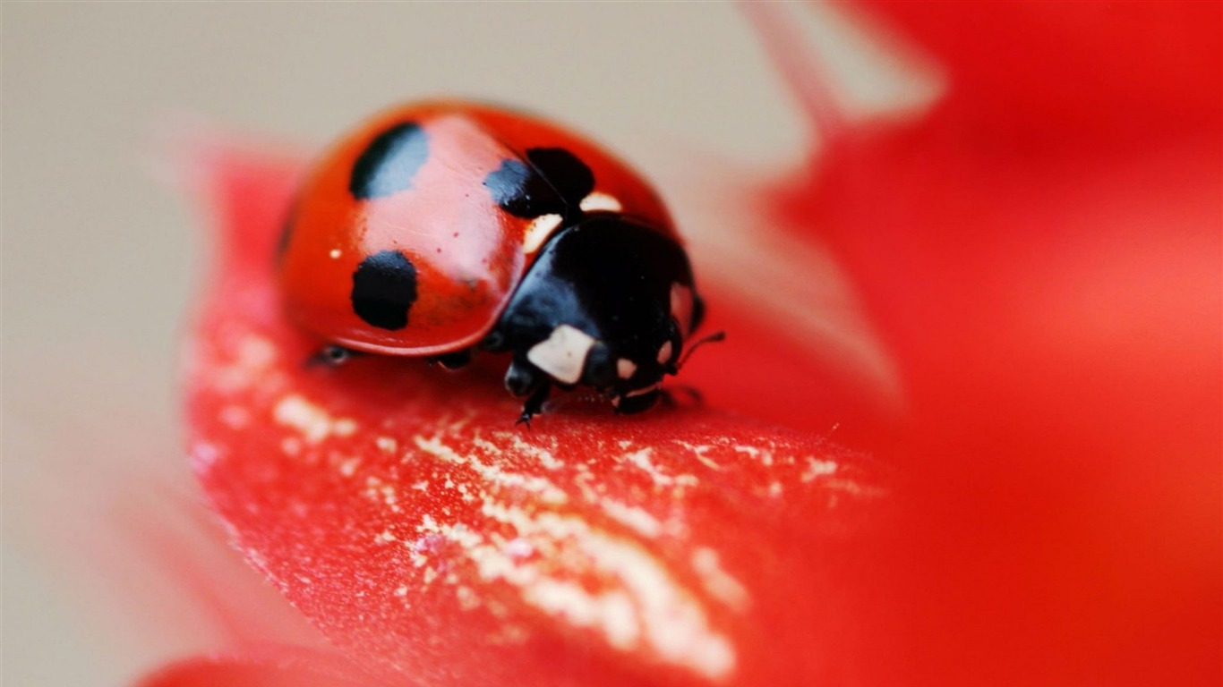 ladybird_red_beetle_flower-Animal_High_Quality_Wallpaper
