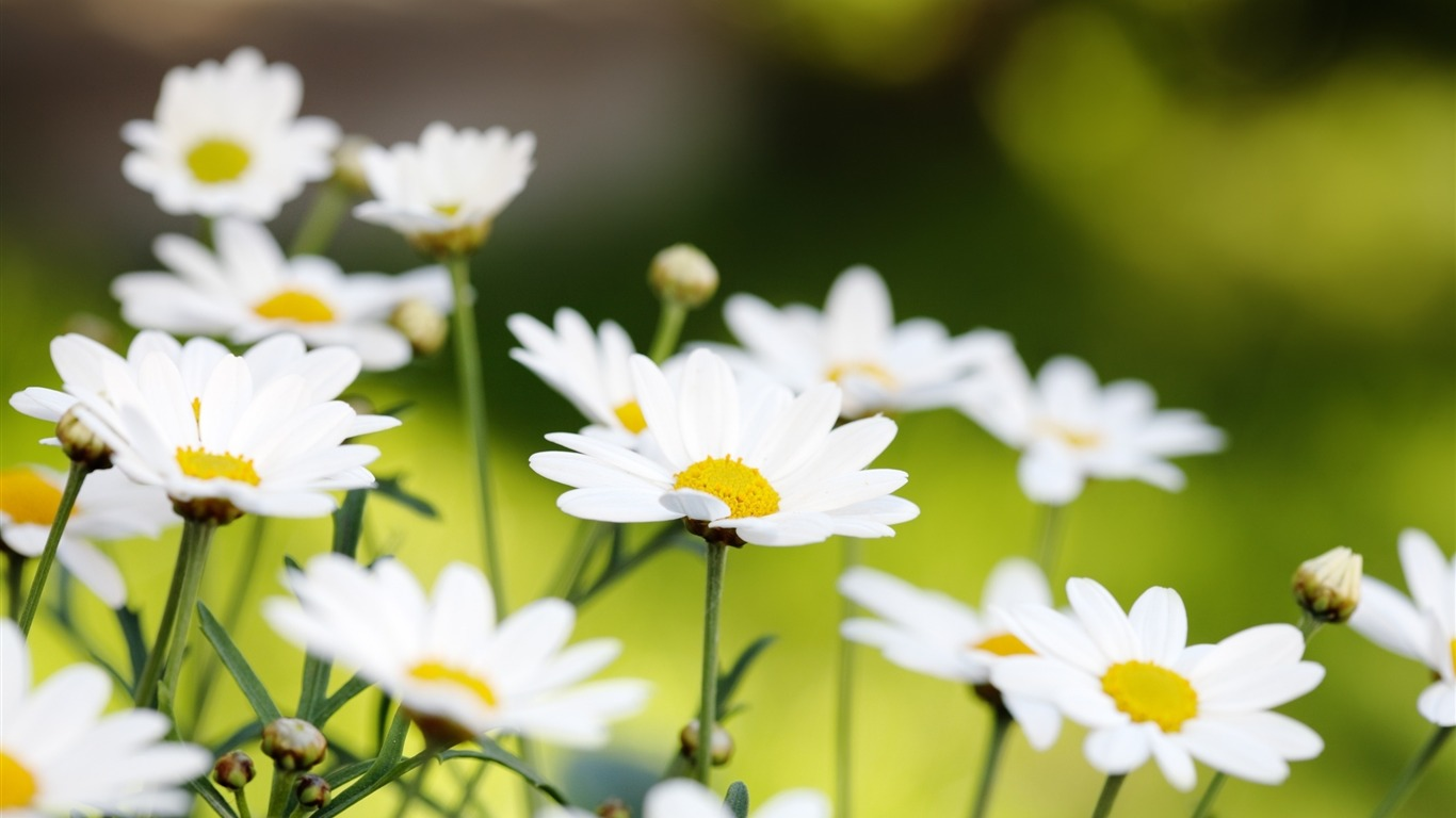 Daisies_flowers_field_summer-Flowers_Photo_HD_Wallpaper