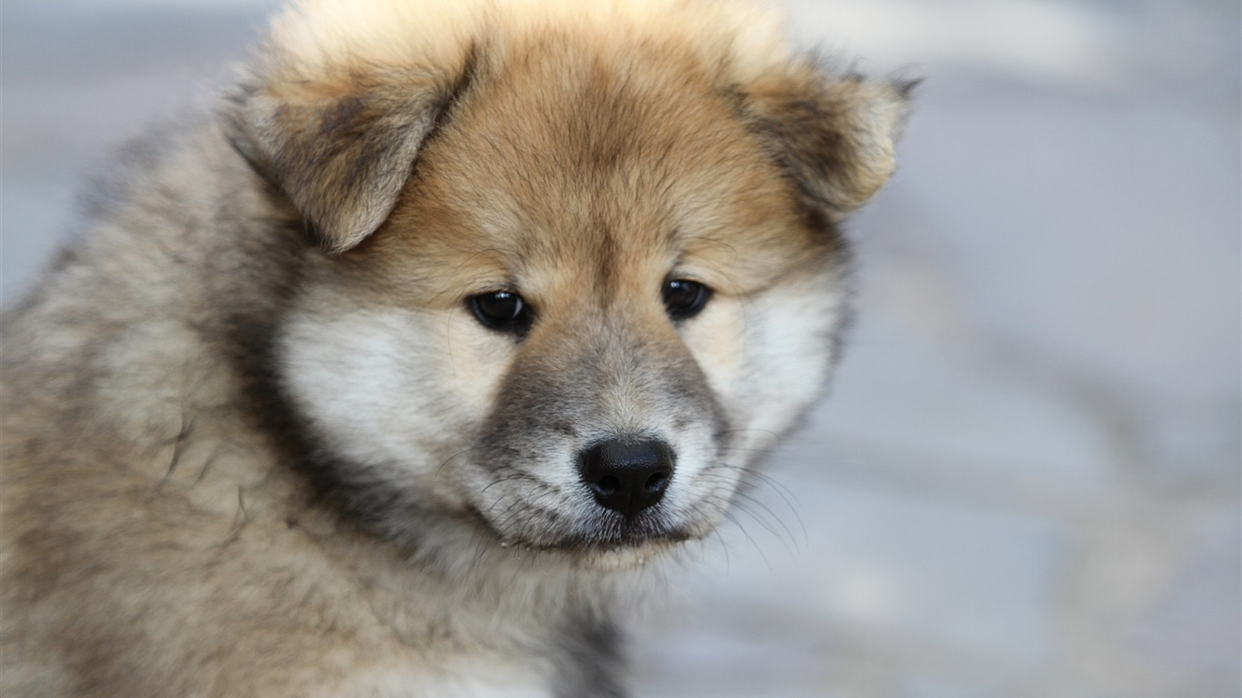 Eurasier_puppy_dog-2016_Animal_High_Quality_Wallpaper