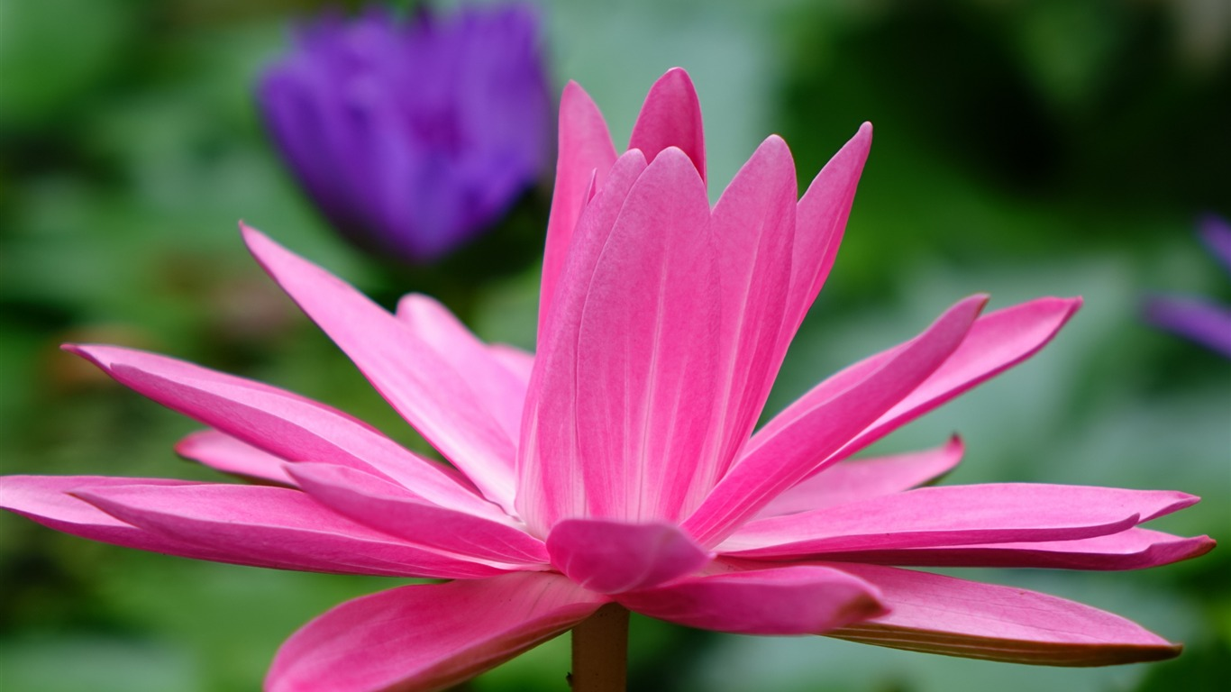 Lotus_flower_petals_pink-Flowers_Photo_HD_Wallpaper
