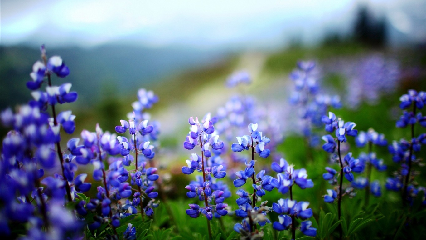 Lupines_flowers_herbs_sharpness-Flowers_Photo_HD_Wallpaper