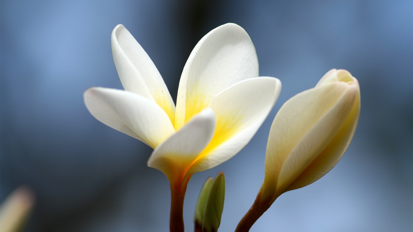 Plumeria_flower_bud_close-up-Flowers_Photo_HD_Wallpaper